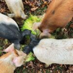 Pigs at Apple Horse Farm