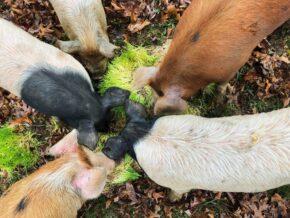 Pigs at Apple Horse Farm